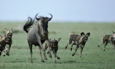 African-wild-dog-pack-hunting-wildebeest