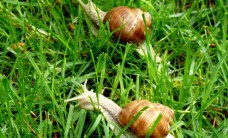 Interested-snail-sitting-in-the-grass-on-wet-leaf-1028138A9E2EFB5A