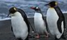 120px-Penguins_walking_-Moltke_Harbour,_South_Georgia,_British_overseas_territory,_UK-8