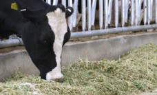 diary cow deaths